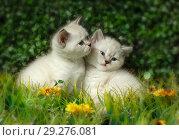 Купить «British Shorthair kitten with blue eyes on the green grass», фото № 29276081, снято 22 ноября 2019 г. (c) Игорь Бородин / Фотобанк Лори