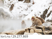 Купить «japanese macaques or snow monkeys in hot spring», фото № 29277869, снято 7 февраля 2018 г. (c) Syda Productions / Фотобанк Лори