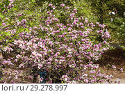 Купить «Bloomy magnolia tree with big pink flowers», фото № 29278997, снято 1 мая 2013 г. (c) Tetiana Chugunova / Фотобанк Лори