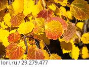 Купить «Жёлто-красные листья осины обыкновенной (Populus tremula, Тополь дрожащий). Золотая осень», фото № 29279477, снято 15 октября 2018 г. (c) Алёшина Оксана / Фотобанк Лори