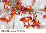 Купить «spindle or euonymus branch with fruits in winter», фото № 29279605, снято 11 ноября 2016 г. (c) Syda Productions / Фотобанк Лори