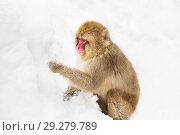 Купить «japanese macaque or monkey searching food in snow», фото № 29279789, снято 7 февраля 2018 г. (c) Syda Productions / Фотобанк Лори