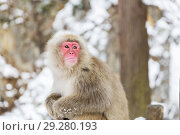 Купить «japanese macaque or snow monkey at jigokudan park», фото № 29280193, снято 7 февраля 2018 г. (c) Syda Productions / Фотобанк Лори