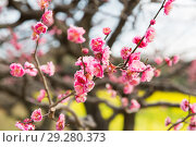 Купить «close up of beautiful sakura tree blossoms at park», фото № 29280373, снято 11 февраля 2018 г. (c) Syda Productions / Фотобанк Лори