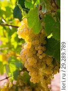Купить «Ripe white grapes on vine», фото № 29289789, снято 29 января 2020 г. (c) Яков Филимонов / Фотобанк Лори