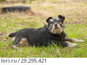 Купить «Маленькая черная лохматая собака лежит на зеленой траве, подняв голову вверх», фото № 29295421, снято 21 апреля 2018 г. (c) Наталья Николаева / Фотобанк Лори