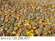 Желтые кленовые листья на брусчатой мостовой. Стоковое фото, фотограф Зобков Георгий / Фотобанк Лори