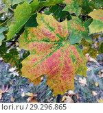 Yellow maple leaf. Стоковое фото, фотограф Сергей Бочаров / Фотобанк Лори