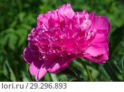 Купить «Розовый пион (лат. Paeonia) крупным планом», фото № 29296893, снято 18 июня 2018 г. (c) Елена Коромыслова / Фотобанк Лори
