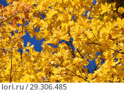 Золотая осень. Красивые желтые, оранжевые кленовые листья. Стоковое фото, фотограф lana1501 / Фотобанк Лори