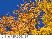 Купить «Желтые кленовые листья на фоне неба. Золотая осень», эксклюзивное фото № 29306489, снято 11 октября 2018 г. (c) lana1501 / Фотобанк Лори