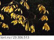 Купить «Золотая осень. Желтые листья на темном фоне», эксклюзивное фото № 29306513, снято 11 октября 2018 г. (c) lana1501 / Фотобанк Лори