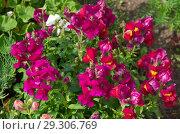 Купить «Львиный зев крупноцветковый (лат. Antirrhinum) цветет на клумбе», фото № 29306769, снято 22 июля 2018 г. (c) Елена Коромыслова / Фотобанк Лори