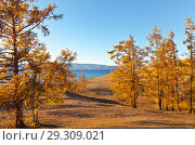 Купить «Lake Baikal. Beautiful autumn landscape with yellowed larches on the shore of the Small Sea (Maloye More) on Olkhon Island in the sunset light», фото № 29309021, снято 13 октября 2018 г. (c) Виктория Катьянова / Фотобанк Лори