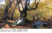 Купить «Буковый лес осенью», видеоролик № 29309101, снято 13 октября 2018 г. (c) Яна Королёва / Фотобанк Лори