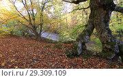 Купить «Буковый лес осенью», видеоролик № 29309109, снято 13 октября 2018 г. (c) Яна Королёва / Фотобанк Лори