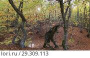 Купить «Буковый лес на Демерджи осенью», видеоролик № 29309113, снято 13 октября 2018 г. (c) Яна Королёва / Фотобанк Лори