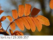 Купить «Желто-красный лист рябины. Золотая осень», эксклюзивное фото № 29309357, снято 18 октября 2018 г. (c) lana1501 / Фотобанк Лори