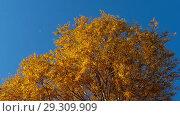 Купить «Autumn trees with yellowing leaves against the sky», видеоролик № 29309909, снято 29 сентября 2018 г. (c) Игорь Жоров / Фотобанк Лори