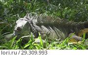 Купить «Big green iguana on a green grass», видеоролик № 29309993, снято 10 октября 2008 г. (c) Куликов Константин / Фотобанк Лори