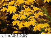 Купить «Ветки клена с золотыми листьями в октябре», эксклюзивное фото № 29310297, снято 15 октября 2018 г. (c) lana1501 / Фотобанк Лори