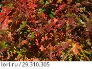 Купить «Разноцветные листочки дуба остролистного. Золотая осень в парке», эксклюзивное фото № 29310305, снято 15 октября 2018 г. (c) lana1501 / Фотобанк Лори