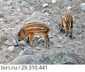 Купить «European wild boar piglet with stripes, characteristic feature of piglets. Two cute piglets», фото № 29310441, снято 16 июля 2018 г. (c) Валерия Попова / Фотобанк Лори
