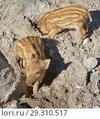 Купить «European wild boar piglet with stripes, characteristic feature of piglets. Two dirty piglets», фото № 29310517, снято 16 июля 2018 г. (c) Валерия Попова / Фотобанк Лори