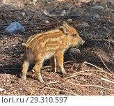 European wild boar piglet with stripes, characteristic feature of piglets. Small piglet. Стоковое фото, фотограф Валерия Попова / Фотобанк Лори