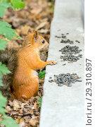 Купить «Close-up photo of a small reddish-haired European squirrel gnawing seeds.», фото № 29310897, снято 21 июля 2018 г. (c) Акиньшин Владимир / Фотобанк Лори