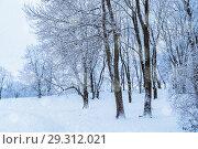 Купить «Winter landscape with falling snow - wonderland winter forest with snowfall in the winter grove. Snowy winter view», фото № 29312021, снято 11 декабря 2017 г. (c) Зезелина Марина / Фотобанк Лори