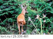 Купить «Goat, Capreolus capreolus, European roe deer, field roe deer, horns, antler bearer, nature, cloven-hoofed animal, roe deer, roe deer in the summer fur...», фото № 29339481, снято 17 ноября 2019 г. (c) age Fotostock / Фотобанк Лори