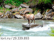 Купить «Capricorn, mountain goat, cloven-hoofed animal, ruminant, horn-rimmed bearer, Bovidae, Boviden, goats, goat-like, Capra ibex, mountains, horns, horns,...», фото № 29339893, снято 14 октября 2019 г. (c) age Fotostock / Фотобанк Лори