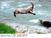 Купить «Capricorn, mountain goat, cloven-hoofed animal, ruminant, horn-rimmed bearer, Bovidae, Boviden, goats, goat-like, Capra ibex, mountains, horns, horns,...», фото № 29339917, снято 7 июня 2020 г. (c) age Fotostock / Фотобанк Лори