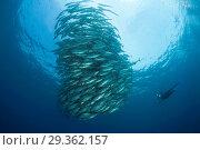 Купить «Shoal of Bigeye Trevally, Caranx sexfasciatus, Cabo Pulmo, Baja California Sur, Mexico», фото № 29362157, снято 17 декабря 2018 г. (c) age Fotostock / Фотобанк Лори