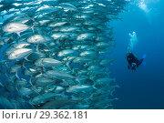 Купить «Shoal of Bigeye Trevally, Caranx sexfasciatus, Cabo Pulmo, Baja California Sur, Mexico», фото № 29362181, снято 17 декабря 2018 г. (c) age Fotostock / Фотобанк Лори
