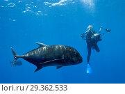 Купить «Giant Trevally and Scuba diver, Caranx ignobilis, Christmas Island, Australia», фото № 29362533, снято 17 декабря 2018 г. (c) age Fotostock / Фотобанк Лори