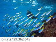 Купить «Shoal of Yellowback Fusilier, Caesio teres, Christmas Island, Australia», фото № 29362645, снято 17 декабря 2018 г. (c) age Fotostock / Фотобанк Лори