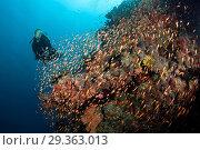 Купить «Scuba Diver on Coral Reef, Felidhu Atoll, Maldives», фото № 29363013, снято 16 декабря 2018 г. (c) age Fotostock / Фотобанк Лори