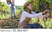 Купить «Young attractive woman farmer harvesting ripe blue grapes in sunny vineyard», видеоролик № 29364401, снято 15 октября 2018 г. (c) Яков Филимонов / Фотобанк Лори