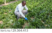 Купить «Successful African-American farmer working in greenhouse, engaged in cultivation of organic Malabar spinach», видеоролик № 29364413, снято 18 сентября 2018 г. (c) Яков Филимонов / Фотобанк Лори