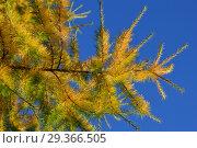 Купить «Золотисто-зеленая хвоя на ветке лиственницы европейской на фоне неба», эксклюзивное фото № 29366505, снято 16 октября 2018 г. (c) lana1501 / Фотобанк Лори
