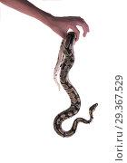 The ball python (Python regius), royal python. Hand holding a dangling snake. Стоковое фото, фотограф Ирина Кожемякина / Фотобанк Лори