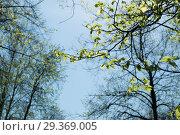 Купить «Молодые листья липы на ветвях крупным планом на фоне неба», эксклюзивное фото № 29369005, снято 4 мая 2018 г. (c) Кузин Алексей / Фотобанк Лори