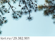 Купить «Pine tree branches with cones on blue sky», фото № 29382901, снято 22 сентября 2018 г. (c) EugeneSergeev / Фотобанк Лори