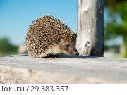 Купить «The lovely hedgehog sits», фото № 29383357, снято 29 июня 2018 г. (c) Чирков Сергей Викторович / Фотобанк Лори