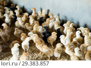 Купить «Fluffy baby chickens on poultry farmhouse», фото № 29383857, снято 26 марта 2019 г. (c) Яков Филимонов / Фотобанк Лори