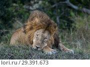Купить «A male lion (Panthera leo) is sleeping in the Masai Mara National Reserve in Kenya.», фото № 29391673, снято 25 августа 2018 г. (c) age Fotostock / Фотобанк Лори