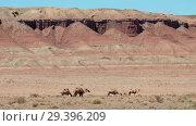Купить «Bactrian camels under red clay cliffs nera mongolian sandy desert Mongol Els», видеоролик № 29396209, снято 14 июля 2018 г. (c) Serg Zastavkin / Фотобанк Лори