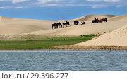 Купить «Herd of horses on barkhans in Mongolia sandy dune desert Mongol Els near lake Durgen Nuur in Mongolia.», видеоролик № 29396277, снято 15 июля 2018 г. (c) Serg Zastavkin / Фотобанк Лори